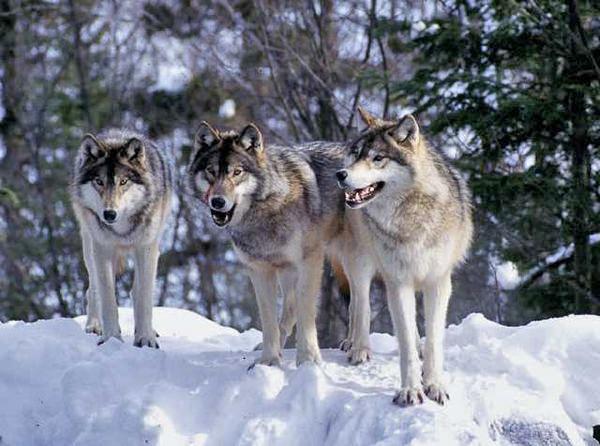 tntwolf